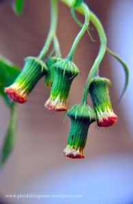 Sintrong (Crassocephalum crepidioides)