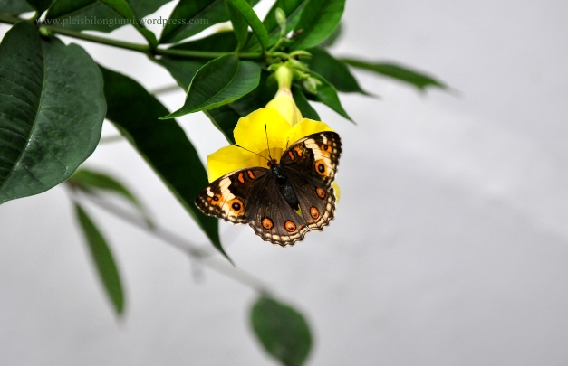 Pretty Orange Spotted Butterfly on Alamanda