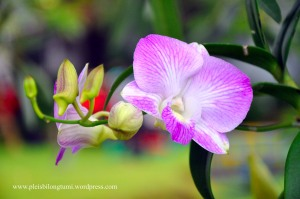Dendrobium (pink) orchid