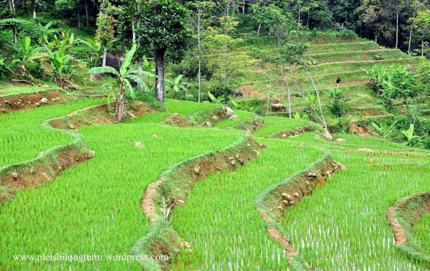 rice terraces1