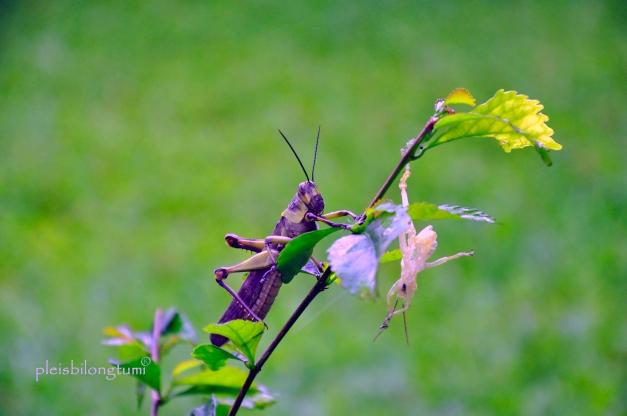 re-born Grasshopper