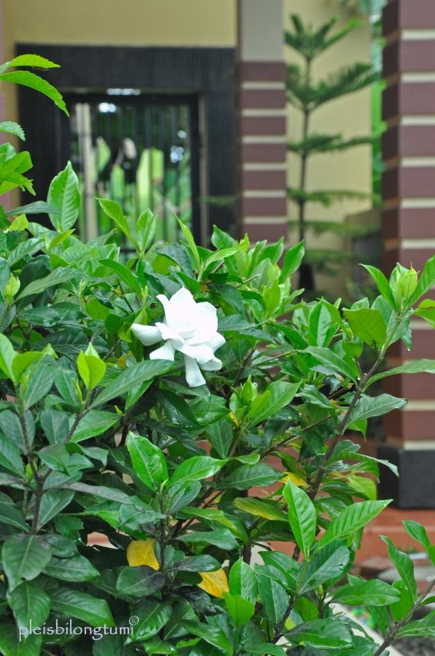 gardenia tree