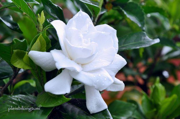 gardenia10