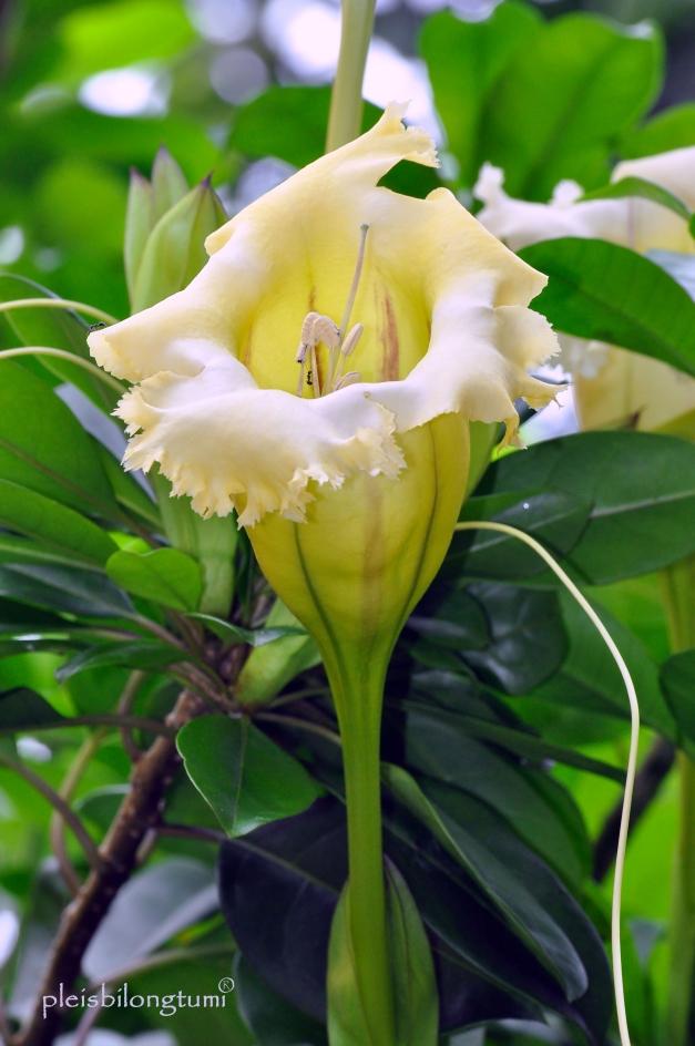 Solandra flower