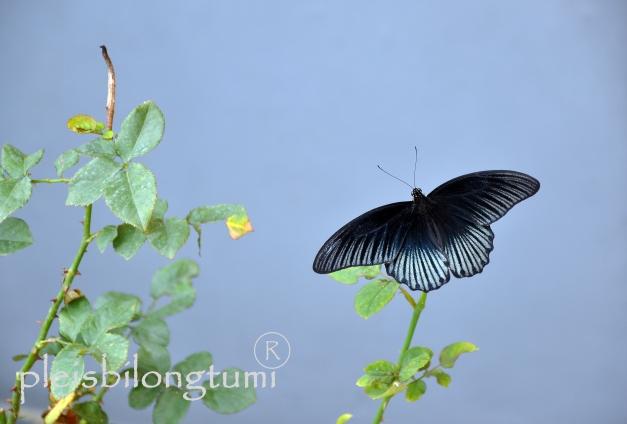 black butterfly-1