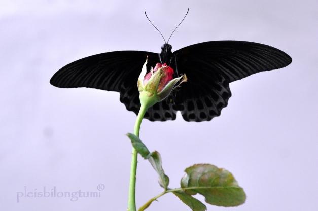 butterfly-115 copy