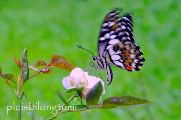 butterfly-52a