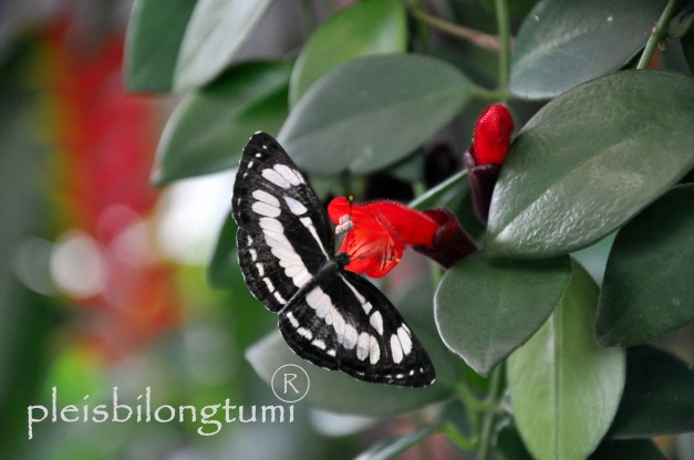 butterfly-61a
