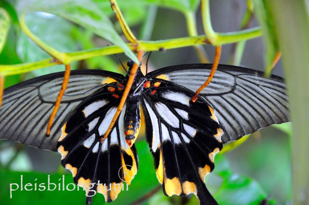 butterfly-78a