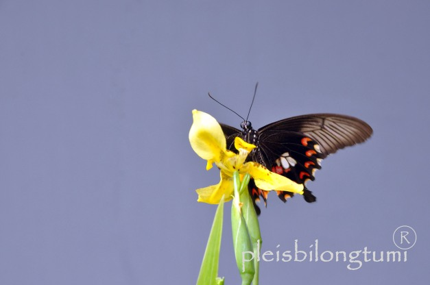 butterfly-85a