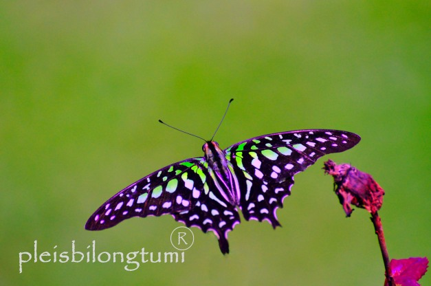 butterfly-95a