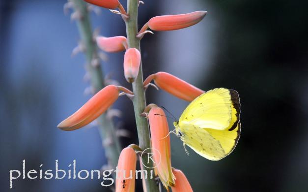 butterlike fly