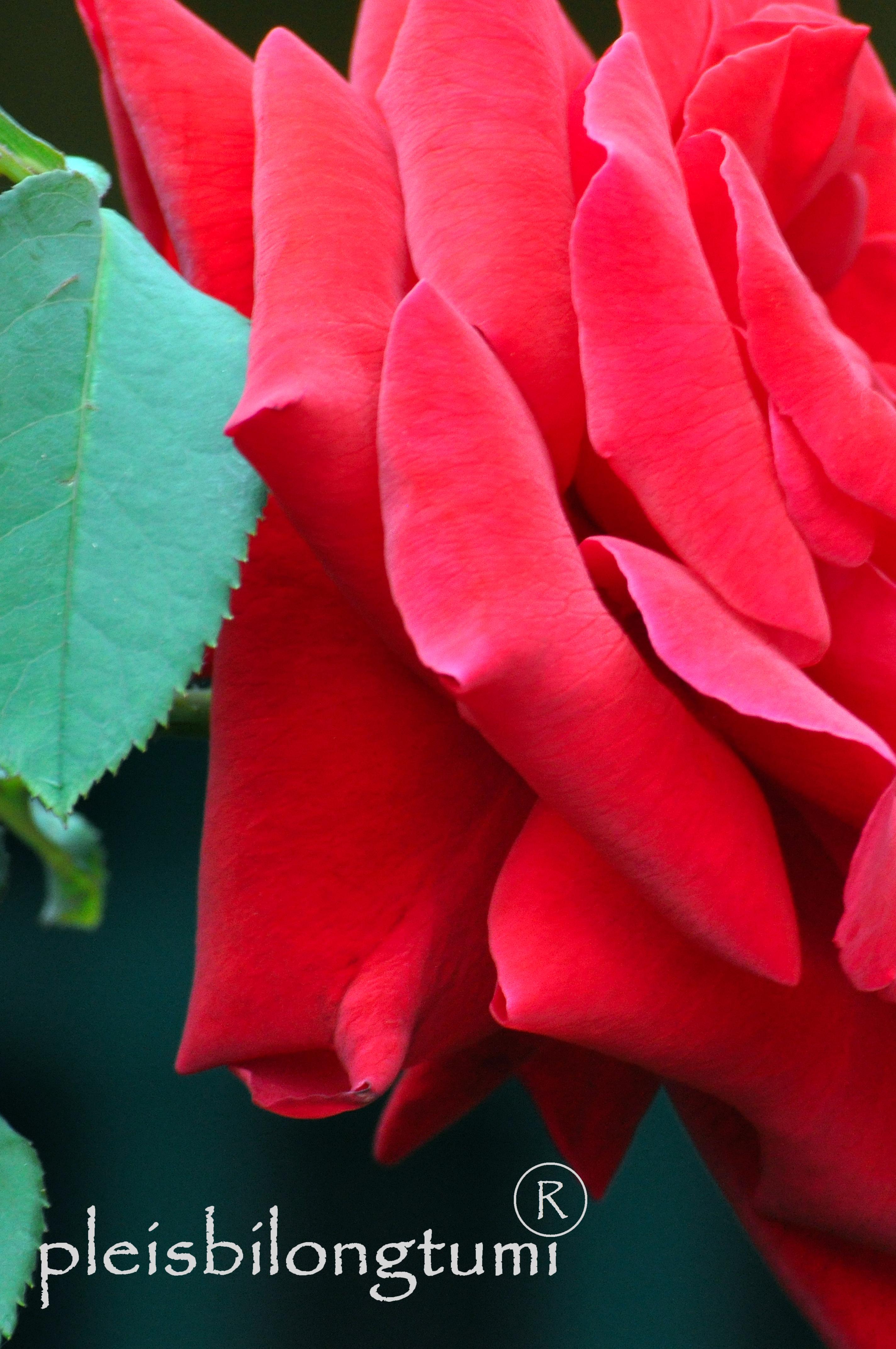My red lotusrose and heliconia cigudeg pleis bilong tu mi rosaceae mightylinksfo
