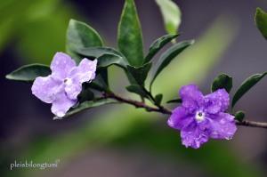 brunfelsia uniflora-1