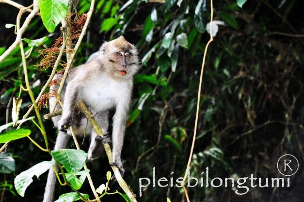 grey monkey-1