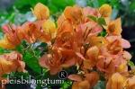 orange bougenvile
