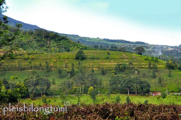 tea plantation1
