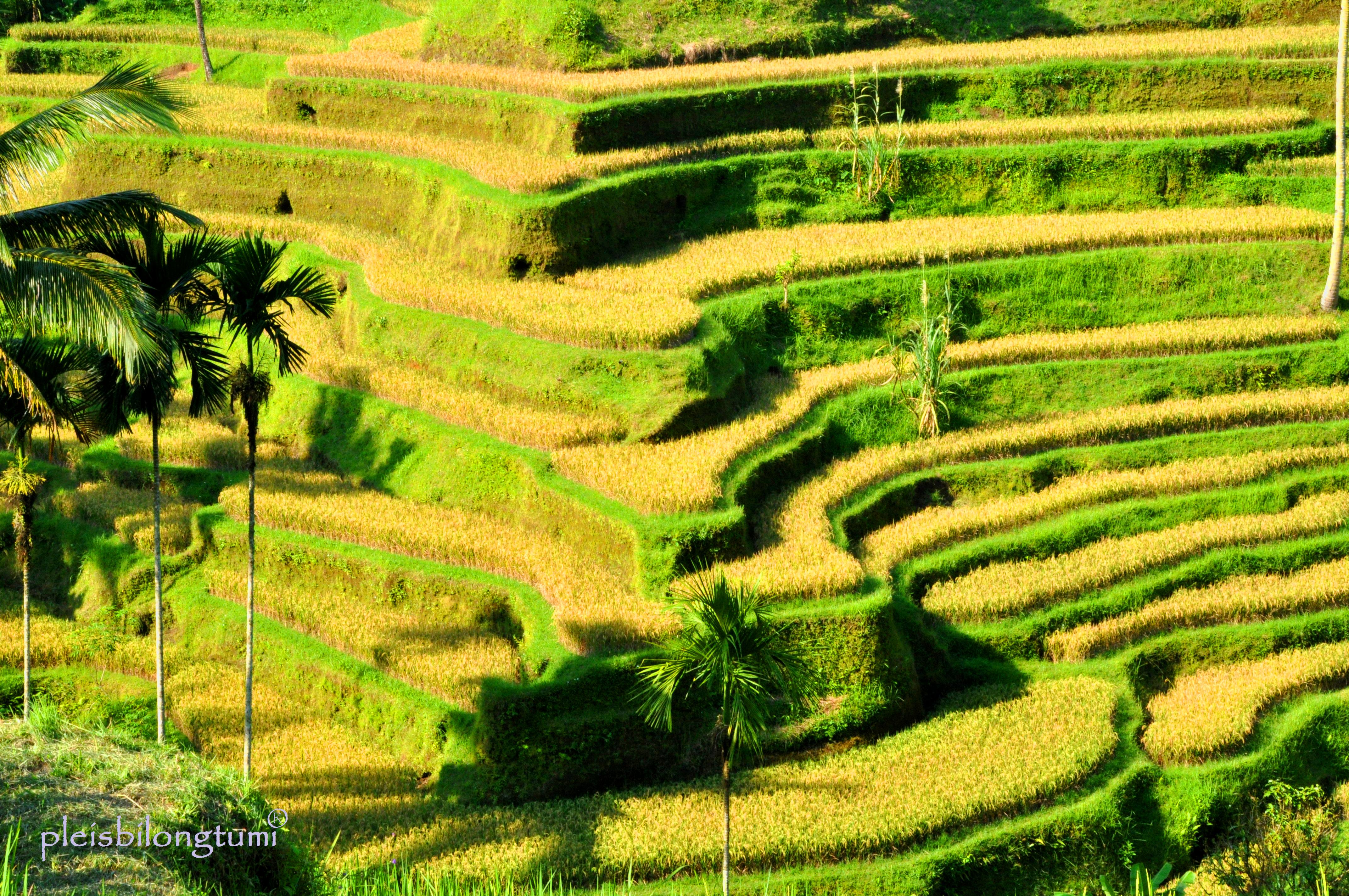 Rice terraces cigudeg pleis bilong tu mi for Terrace ubud bali