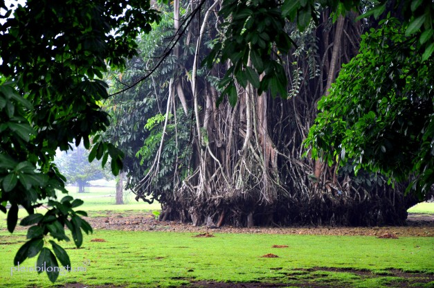 under a banyan tree-1