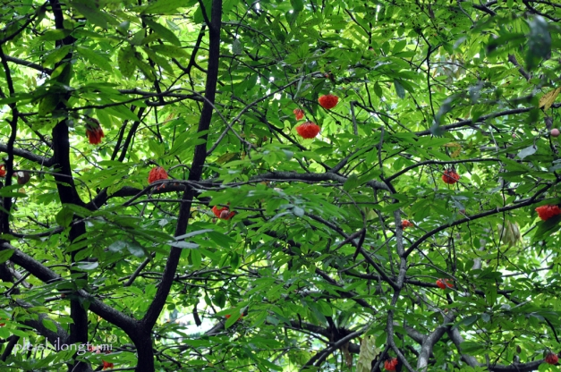 b coccinea tree