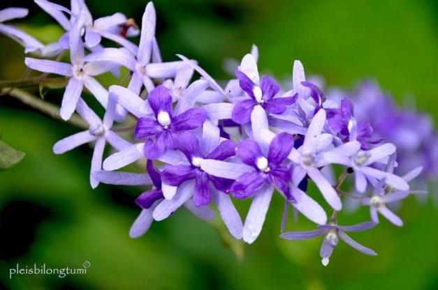 petrea v flowers