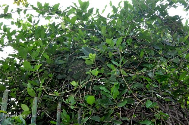 petrea v shrub