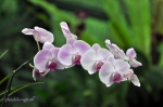 orchid-6
