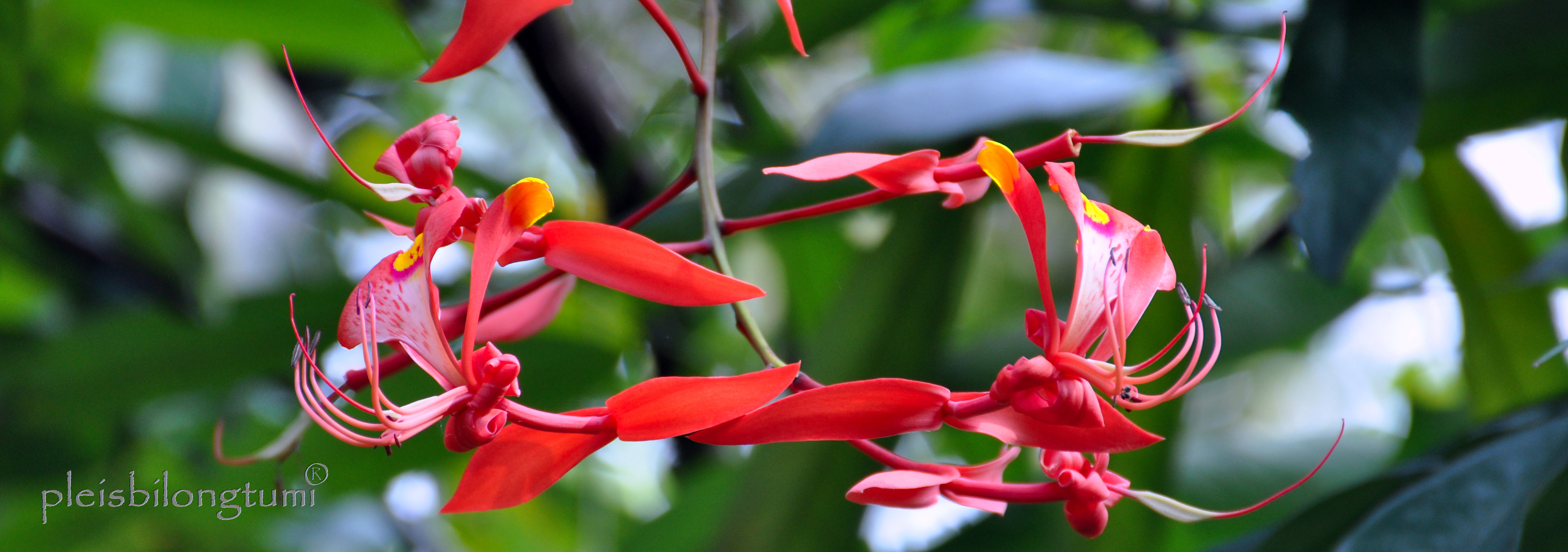 Amherstia nobilis, an orchid-like flowering tree