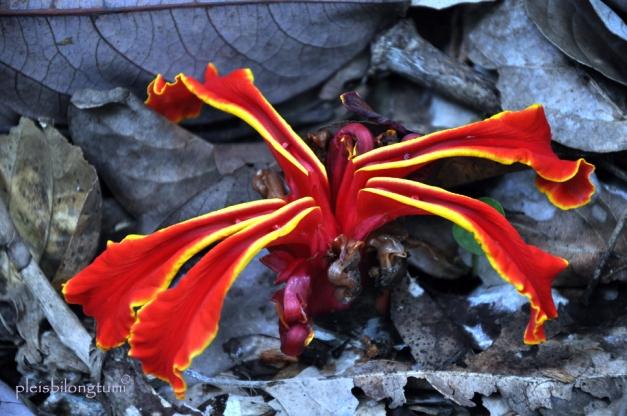 amomum flower