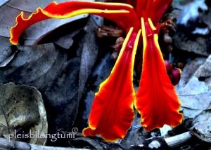 amomum petals