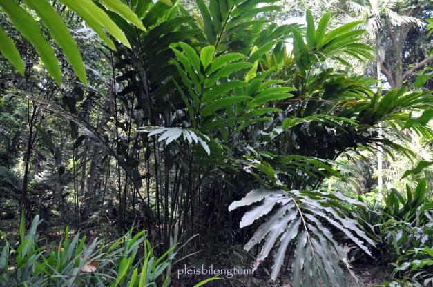 amomum plant