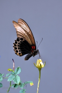 butterfly-108 copy