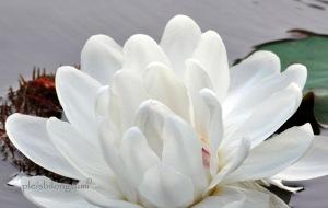 giant waterlily flower copy