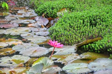 Lily pond-1