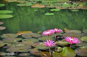 pinklilies