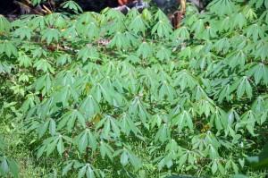 pohonsingkongmuda