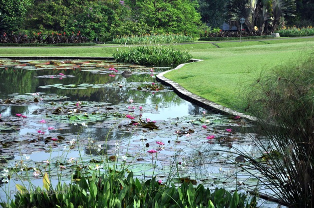 The Lily pond copy