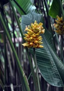 calathea majestica flowers