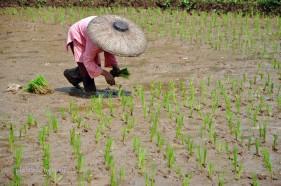 riceplanting-2