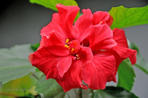 rosasinensis