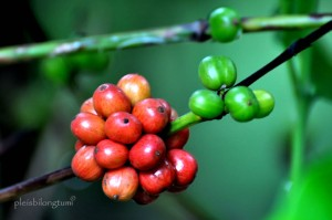 the coffee berries