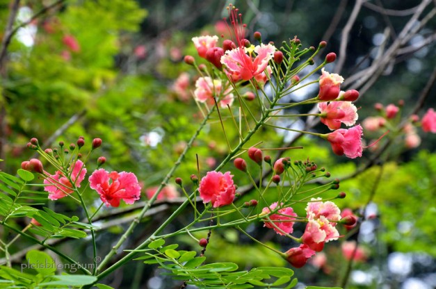 pride of barbados-1