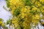 The Golden Shower Tree (Cassia fistula L.)