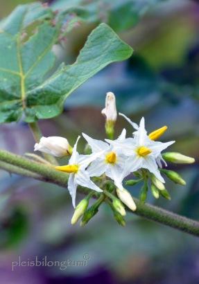 Solanum torvum Sw
