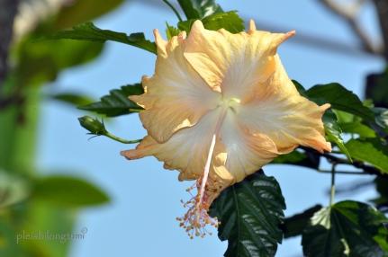 beige hibiscus