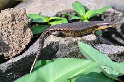 female lizard