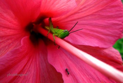 grasshoperonhibiscus