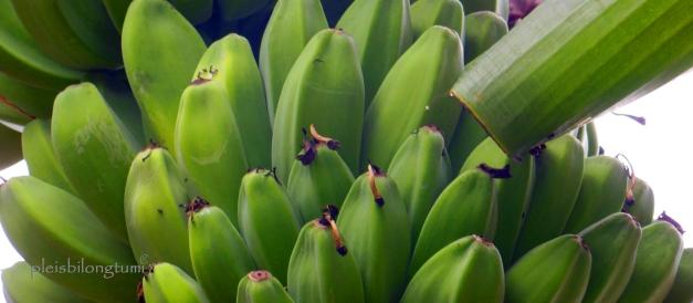 pisang kepok1