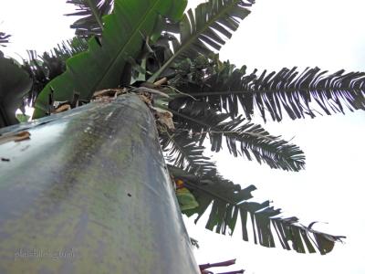pohon pisang kepok