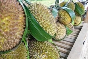 duriancigudeg